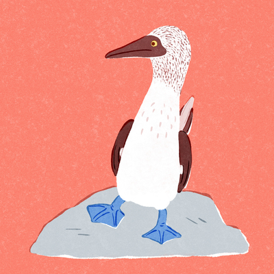 blue-footed-booby-1